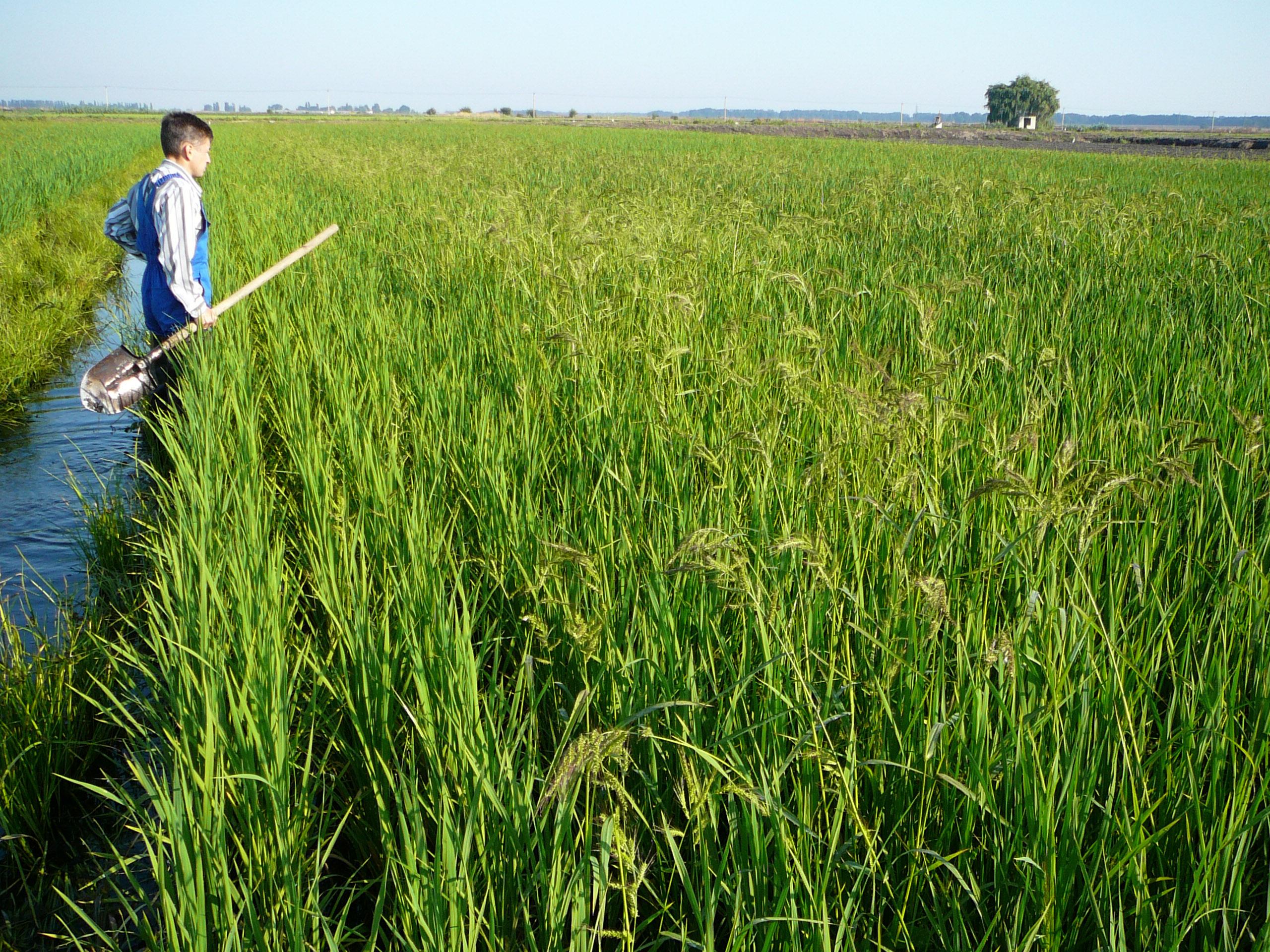 как выращивают рис в россии телефоны