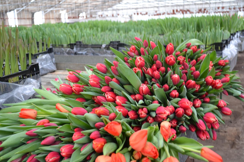Стоимость цветы тюльпаны оптом москва, роз